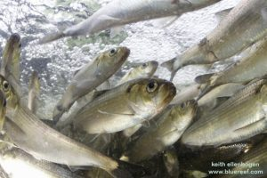 Herring — Fish Ladder