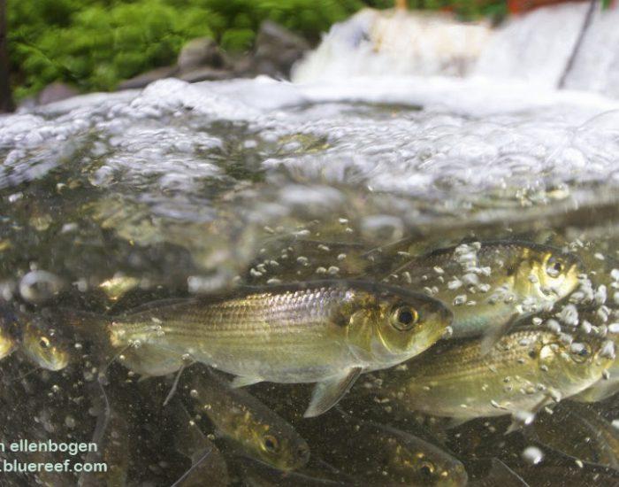 Herring — Fish Ladder