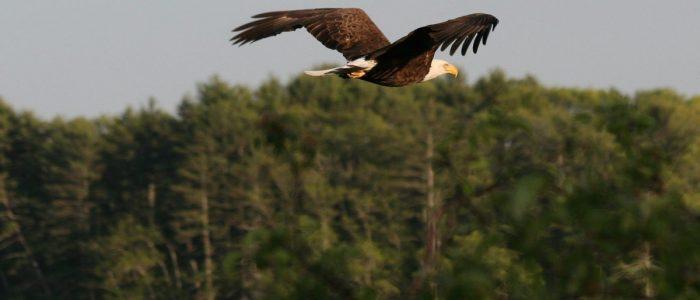 rww_eagles_01